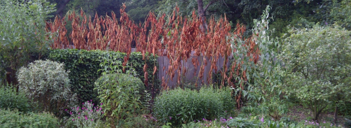 Japanese-knotweed-residential-content